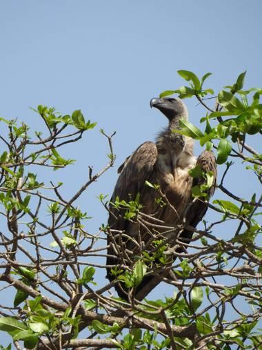 olaya96fg en Hamelin: Fauna  (Nairobi), Gyps fulvus (Hablizl, 1783), #Aves21