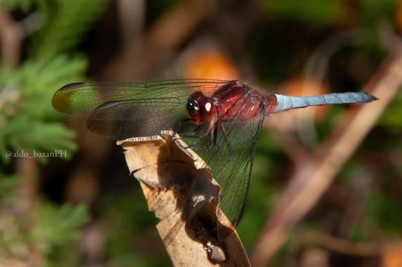 @aldobazanPH en Hamelin: Fauna  (Cabalango), Insecto