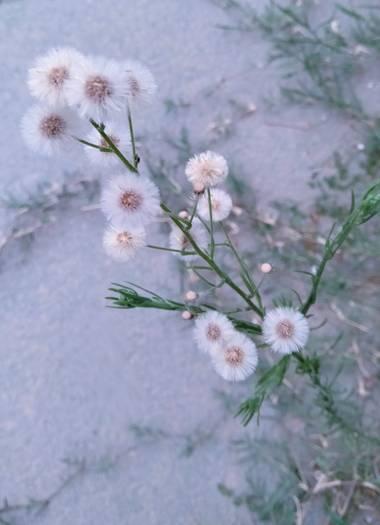 Solerantonio2 en Hamelin: Flora  (Almería), Florecillas en el parque
