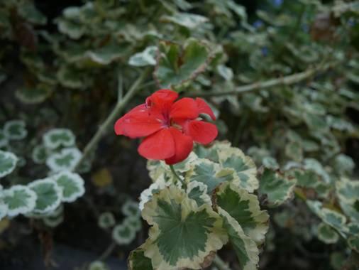 Iman.akhrouf en Hamelin: Flora  (Málaga), Pelargonium zonale