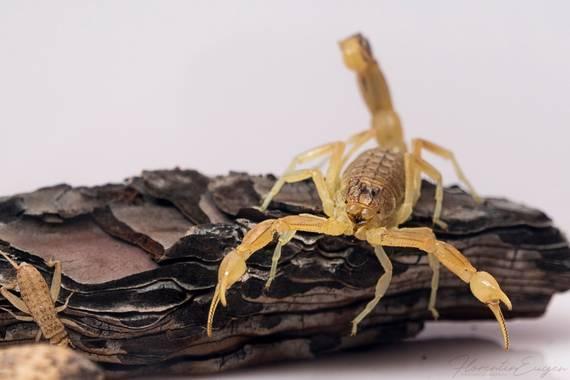 Florentinoeugenio en Hamelin: Fauna  (Mondéjar), #escorpion