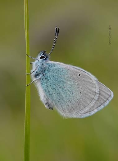 Arturo.camposmuro en Hamelin: Fauna  (Vitoria), #glaucopsyche #glaucopsychealexis #butterfly #mariposa #insect #insecto #macro #alava #nature #naturaleza