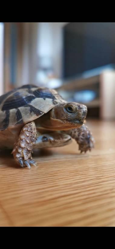 Ajota en Hamelin: Fauna, #tortuga#mora#terrestre
