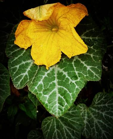 Berenicelujan en Hamelin: Flora, Cucurbita moschata