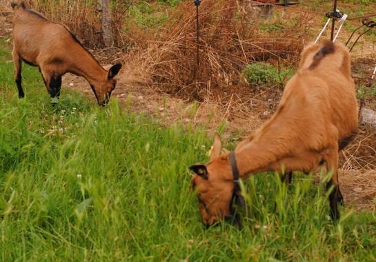 Elisa en Hamelin: Fauna  (Ribadeo), Cabras gallegas pastando. #galicia #ribadeo