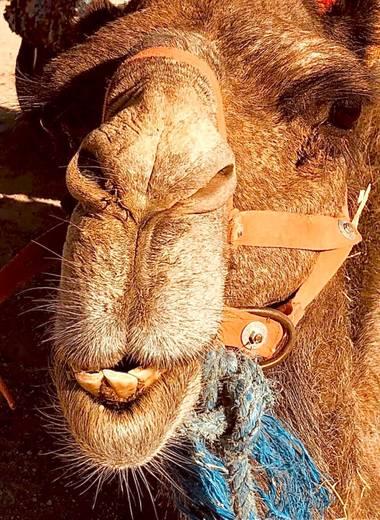 su en Hamelin: Fauna  (Sidi Badhaj), Dromedario en el desierto alrededor de Marrakech