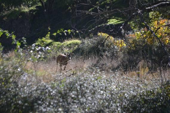 Solerantonio2 en Hamelin: Fauna  (Bacares), Ciervo