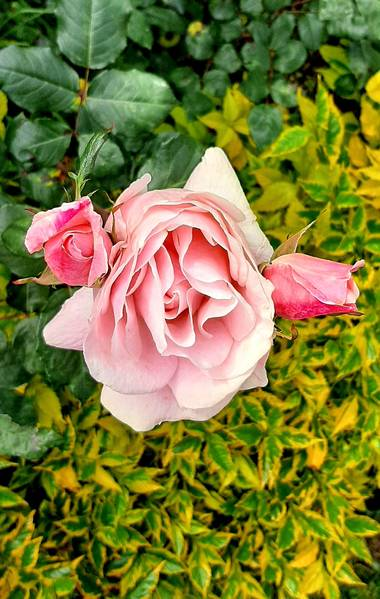 Ivancaicedo11 en Hamelin: Flora  (Bogotá, D.C.), #rose#pink