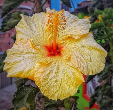 Ivancaicedo11 en Hamelin: Flora, Hibiscus rosa-sinensis, #cucarda#rosa china#asian rose