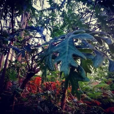 raquelarriola15 en Hamelin: Flora  (A Coruña), Hoja de Quercus en bosque. Simbolo del mundo celta . #paisaje