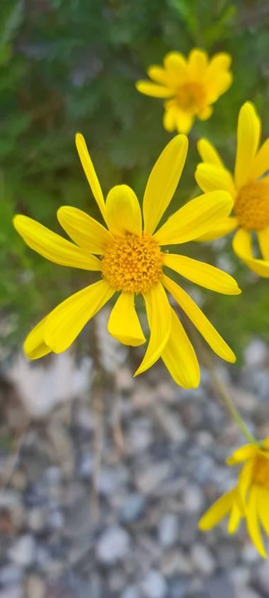 Lauratduch en Hamelin: Flora  (El Vendrell), Llego la primavera#fotomovil#el vendrell