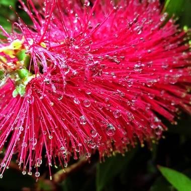 Georginaag en Hamelin: Flora  (Palafolls), #flora21 #flower #raindrops #drops