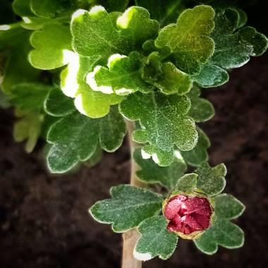 Navarroarevalomariateresa en Hamelin: Flora  (Viesca), Chrysanthemum indicum, Sigue floreciendo mi crisantemo.