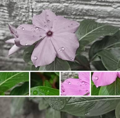 Marçe.Lateacher_López en Hamelin: Flora  (Tame), Catharanthus roseus, #floracolombiana  #hamelinflora  #hamelin21