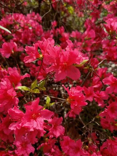 IreneRoldan en Hamelin: Flora  (Madrid), Rhododendron calendulaceum, Primavera en el #realjardinbotanicomadrid