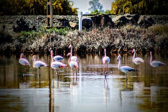 Jomacaes70 en Hamelin: Fauna  (Huelva), #flamencos