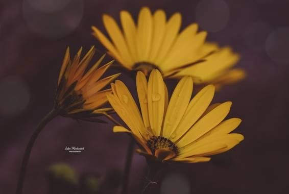 Lidia__lmr38 en Hamelin: Flora  (Zaragoza), Dimorphotheca sinuata, #flora21