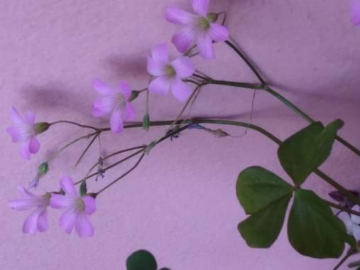 liianalfarth074 en Hamelin: Flora, Flor del trébol