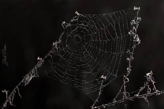 Justi en Hamelin: Fauna  (Sant Celoni), La tela de araña es una estructura única en la naturaleza. Están construidas con sumo mimo y de manera muy metódica...