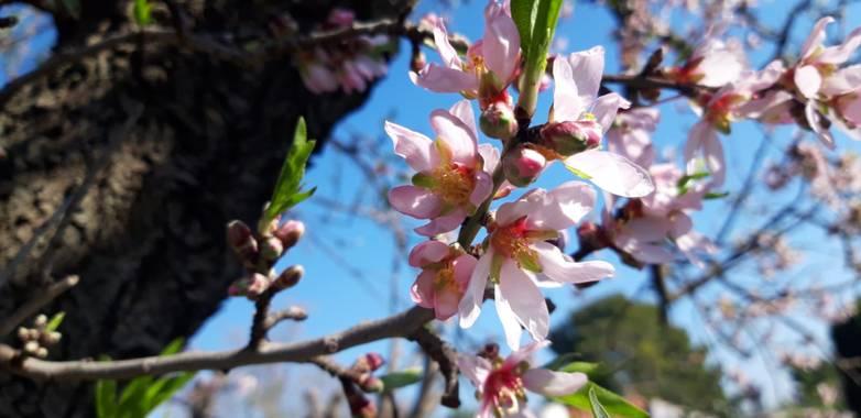 S.- en Hamelin: Flora  (Chulilla), Prunus dulcis, #FlorDeAlmendro #SinFiltros #flora21