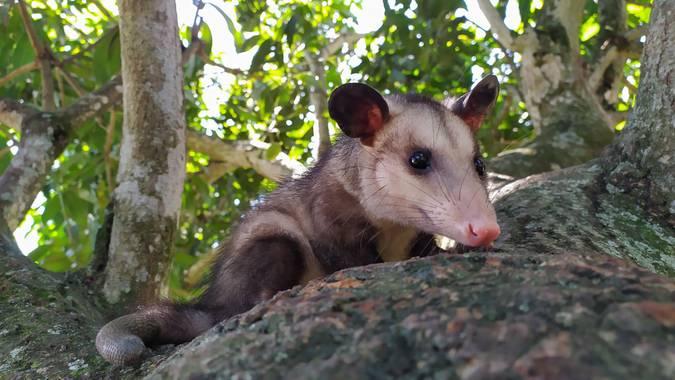Michael_vinasco en Hamelin: Fauna  (La Unión), Didelphis marsupialis Linnaeus, 1758, Este es un hermoso ejemplar de Zarigüeya (Didelphis) rescatado, su mad...