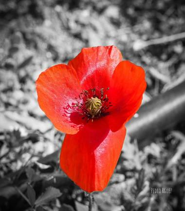 PEROMA_PHOTO en Hamelin: Flora  (Cártama), Papaver rhoeas, En algunas culturas se le ha asociado con la felicidad y el amor. En otras con la soledad, la ri...