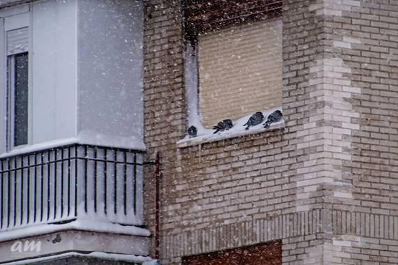 Martinezantonio.correo en Hamelin: Fauna  (Madrid), #invierno2020 #palomas#nevadaenmadrid
