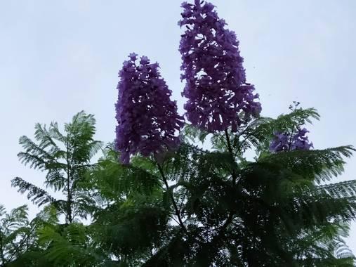 Solerantonio2 en Hamelin: Flora  (Almería), Jacaranda mimosifolia, Flores del parque
