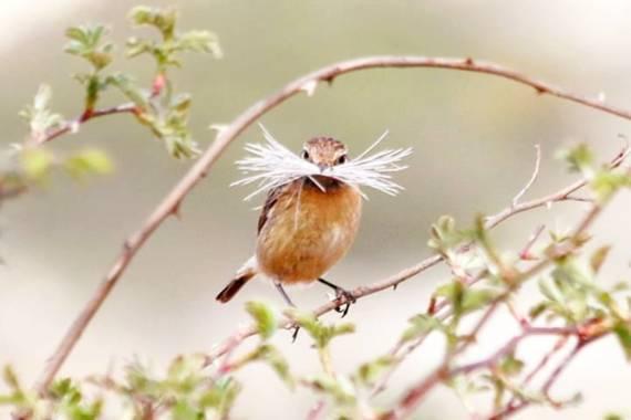 reyesbaciero en Hamelin: Fauna  (Burgos), Saxicola rubicola (Linnaeus, 1766), #aves21