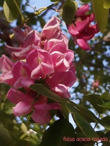 Mpinfante en Hamelin: Flora, Robinia hispida, Robinia. Falsa acacia