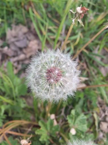 Marisol🍀 en Hamelin: Flora, Taraxacum officinale, #dientedeleon