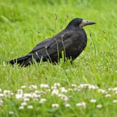 Ignicapillus en Hamelin: Fauna  (Tollarp), Corvus frugilegus Linnaeus, 1758, Graja He aquí uno de los córvidos más comunes del centro de Europa. Aunque est...