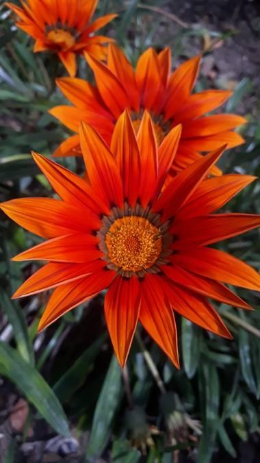 Cr93734 en Hamelin: Flora  (Buenos Aires), Gazania rigens, #gazania