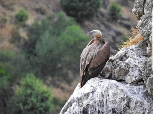 María G Terrones en Hamelin: Fauna  (Serradilla), Buitre Leonado en el Parque Nacional de Monfragüe
