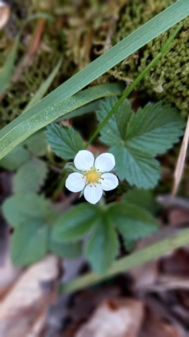 Corina en Hamelin: Flora  (Bernedo), Flor de fresa silvestre🌸