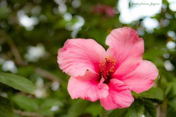 Greta franco beguan en Hamelin: Flora, Hibiscus rosa-sinensis, #Naturaleza #Nature  #Natural #nikon  #Fotos #artista  #visual #Shooting #Shoot #photograph...