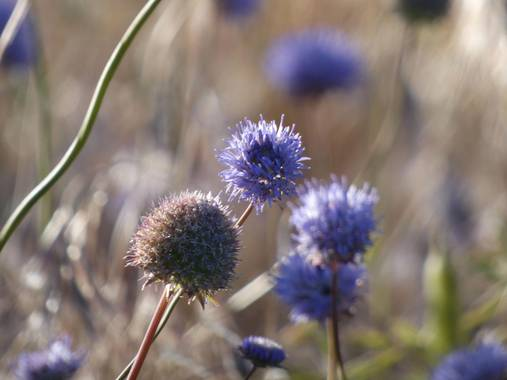 mariale en Hamelin: Flora, Jasione montana, 📸 #marialemdza  #flores #floressilvestres #Naturaleza #BellezaNatural  Provincia de Zamora, primavera 2021.