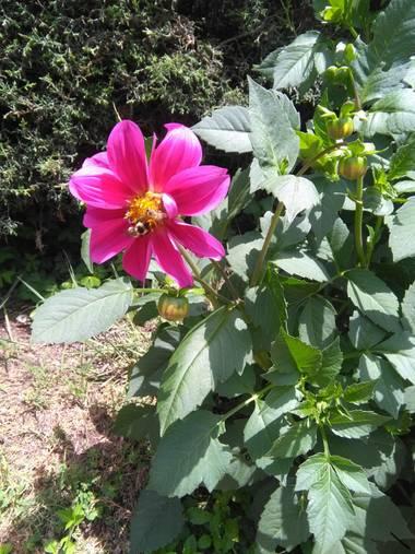 Gabrytersiese en Hamelin: Flora  (La Cumbrecita), Dahlia pinnata, Camino a la cascada