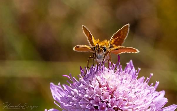 Florentinoeugenio en Hamelin: Fauna  (Brihuega), #mariposa