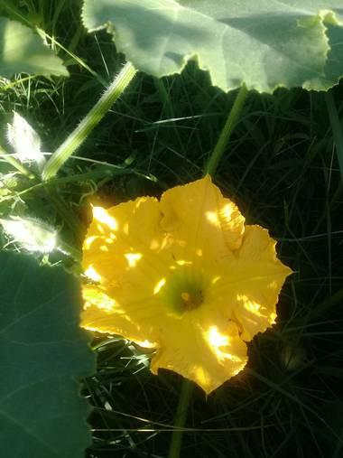 Supra3179 en Hamelin: Flora  (Chajarí), Recorriendo el jardin 💛 #zapallo #naturaleza #huertaencasa