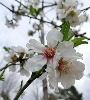 Latortugablue en Hamelin: Flora  (Paterna), Prunus dulcis, Flor del almendro... 🌸