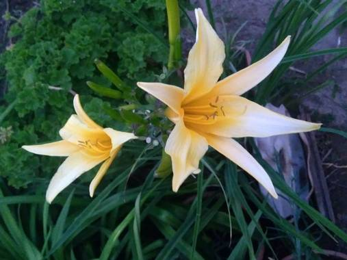 liianalfarth074 en Hamelin: Flora, Hemerocallis lilioasphodelus