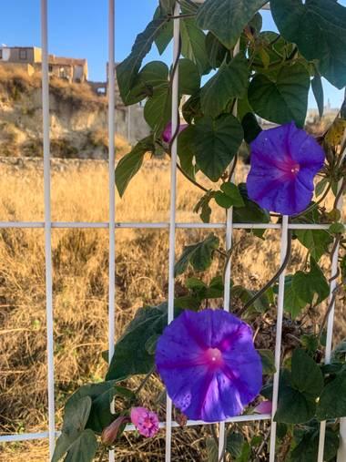 carogv1995 en Hamelin: Flora  (Albudeite), #flora21 #lila #floreshermosas