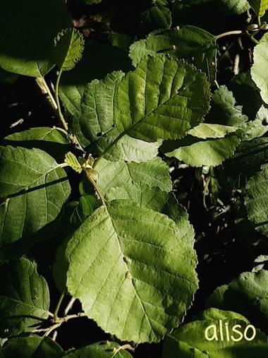 Mpinfante en Hamelin: Flora, Alnus glutinosa, Aliso