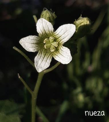 Mpinfante en Hamelin: Flora, Bryonia cretica, .