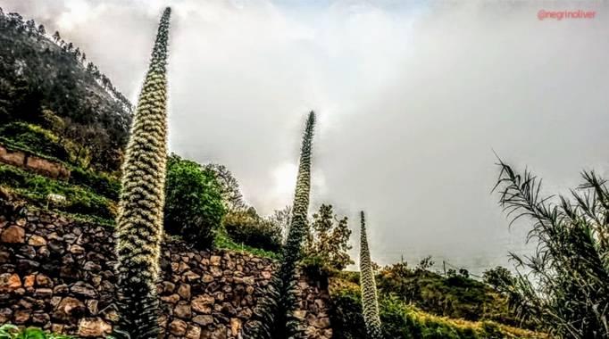 Óliver📷 en Hamelin: Flora  (Los Realejos), Tajinastes empezando a florecer! 🌺🌱