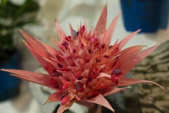 cruzyus en Hamelin: Flora  (Córdoba), Aechmea fasciata, #flora21