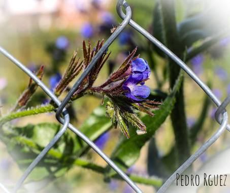 PEROMA_PHOTO en Hamelin: Flora  (Casarabonela), Anchusa italica, .