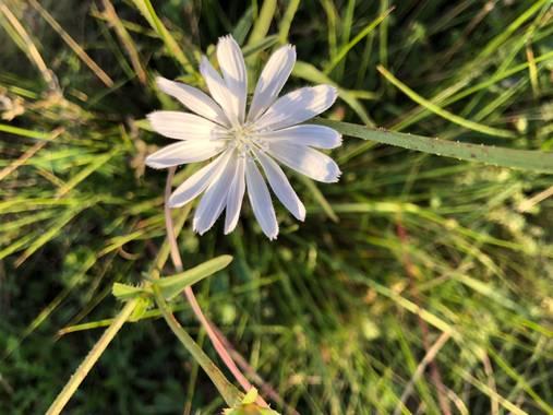 Naturalezadebarrio en Hamelin: Flora  (Calafell), Cichorium intybus, Flor de otoño #otoño20@naturalezadebarrio