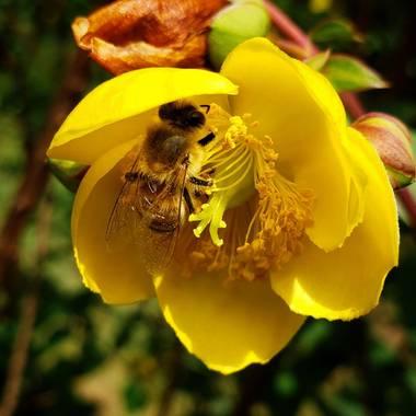 Dianarubiot en Hamelin: Fauna, #abeja #bee #abejas #polen #flores #pollen #onmyway #insect #insectos #flowers #sol #sun #naturaleza #nature #color #amaril...